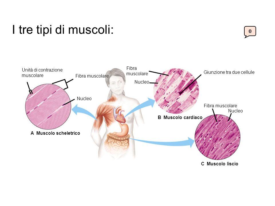 0 Unità di contrazione muscolare Fibra muscolare Nucleo A Muscolo scheletrico Nucleo Fibra muscolare Giunzione tra due cellule Fibra muscolare Nucleo C Muscolo liscio B Muscolo cardiaco I tre tipi di muscoli: