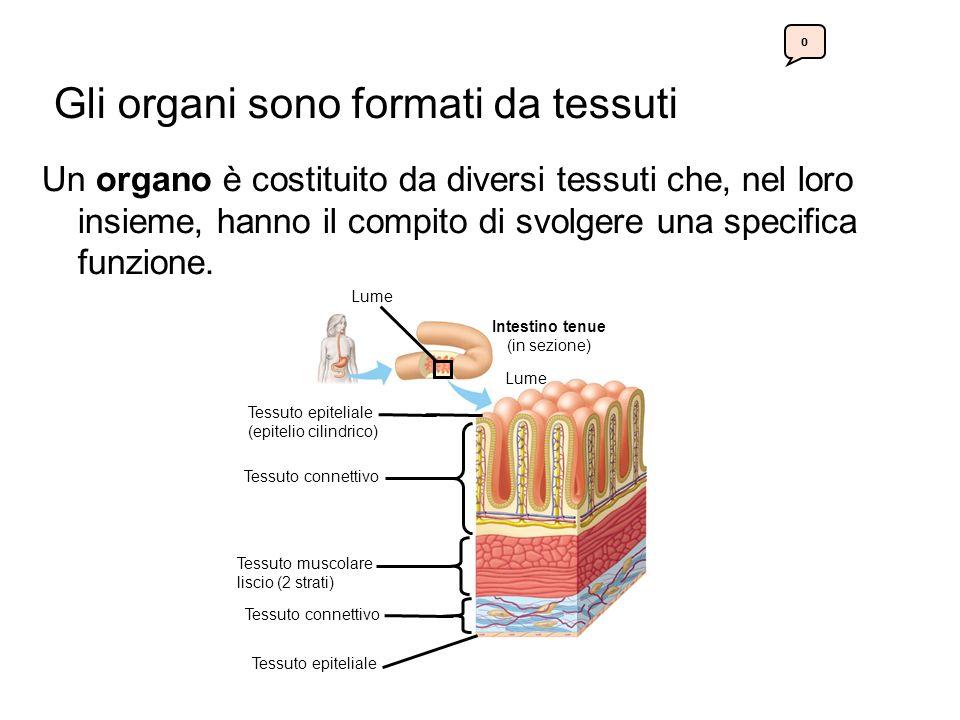 Gli organi sono formati da tessuti Un organo è costituito da diversi tessuti che, nel loro insieme, hanno il compito di svolgere una specifica funzione.