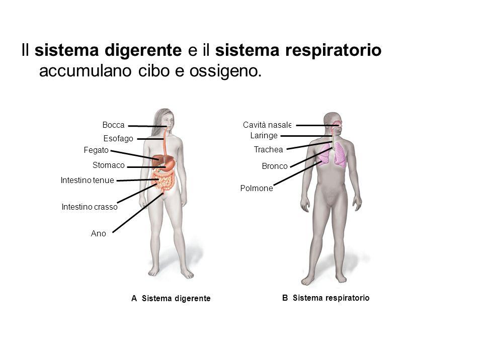 A Sistema digerente Bocca Esofago Fegato Stomaco Intestino tenue Intestino crasso Ano B Sistema respiratorio Cavità nasale Laringe Trachea Bronco Polmone Il sistema digerente e il sistema respiratorio accumulano cibo e ossigeno.
