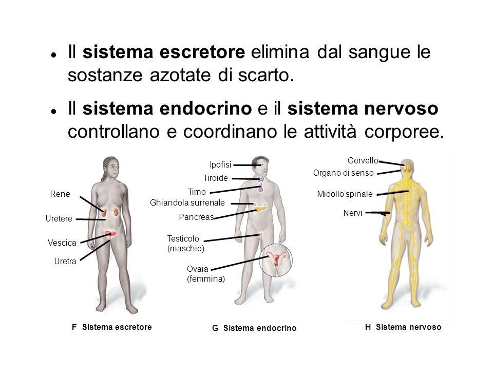Il sistema escretore elimina dal sangue le sostanze azotate di scarto.