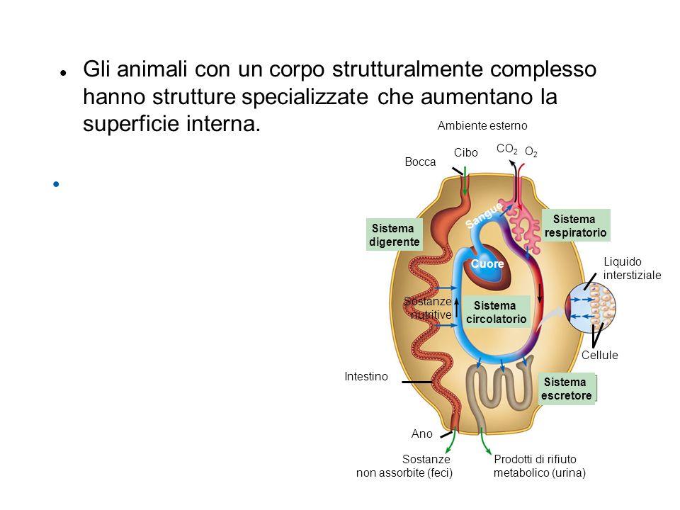 Gli animali con un corpo strutturalmente complesso hanno strutture specializzate che aumentano la superficie interna.