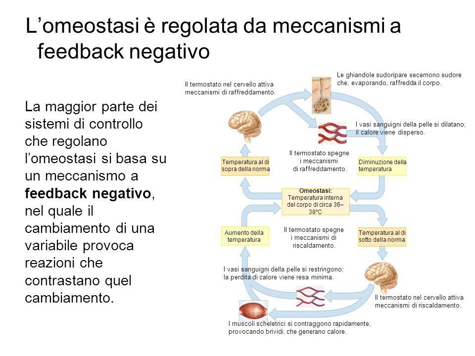 Lomeostasi è regolata da meccanismi a feedback negativo Omeostasi: Temperatura interna del corpo di circa 36– 38 C Temperatura al di sopra della norma Temperatura al di sotto della norma Diminuzione della temperatura Aumento della temperatura Il termostato spegne i meccanismi di riscaldamento.