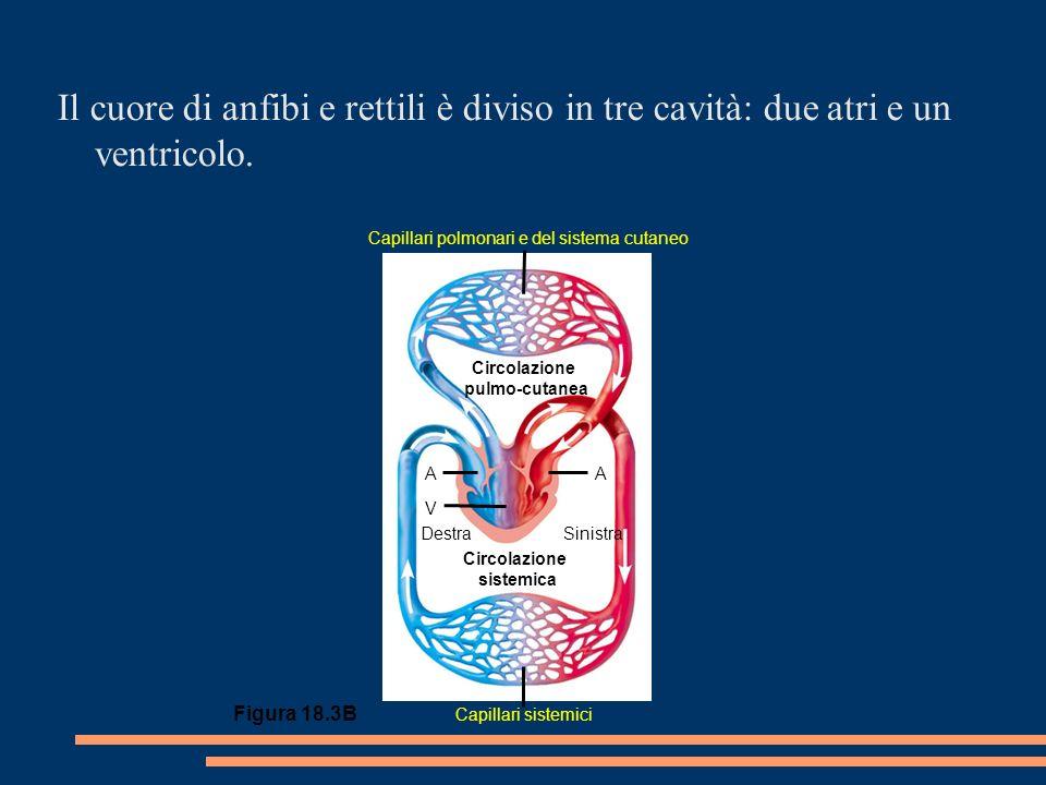 Figura 18.3B Circolazione pulmo-cutanea Circolazione sistemica DestraSinistra AA V Capillari polmonari e del sistema cutaneo Capillari sistemici Il cuore di anfibi e rettili è diviso in tre cavità: due atri e un ventricolo.