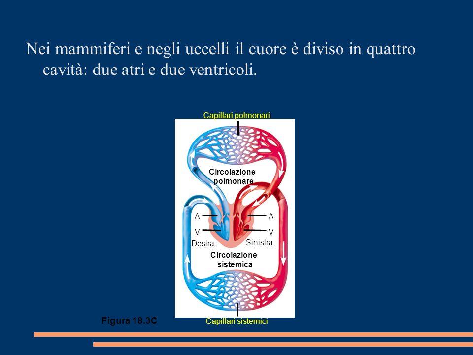 Circolazione polmonare Circolazione sistemica Destra Sinistra AA V Capillari polmonarii Capillari sistemici V Figura 18.3C Nei mammiferi e negli uccelli il cuore è diviso in quattro cavità: due atri e due ventricoli.