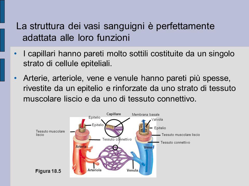 La struttura dei vasi sanguigni è perfettamente adattata alle loro funzioni I capillari hanno pareti molto sottili costituite da un singolo strato di cellule epiteliali.
