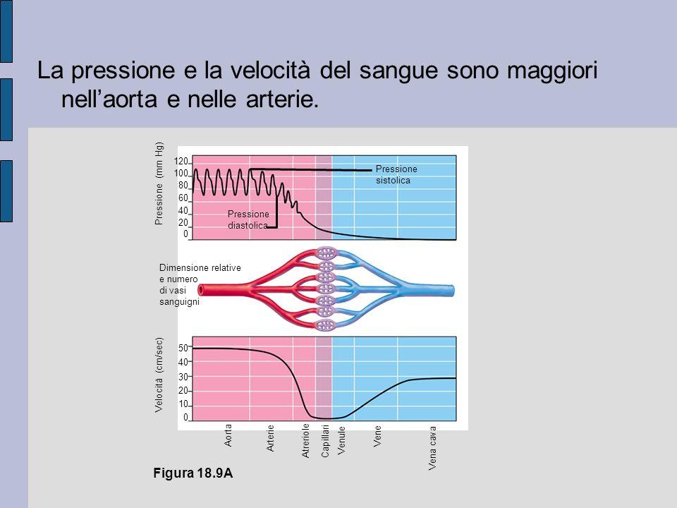 Figura 18.9A Pressione (mm Hg) 120 100 80 60 40 20 0 Pressione sistolica Pressione diastolica Dimensione relative e numero di vasi sanguigni Velocità (cm/sec) 50 40 30 20 10 0 Aorta Arterie Atreriole Capillari Venule Vena cava Vene La pressione e la velocità del sangue sono maggiori nellaorta e nelle arterie.
