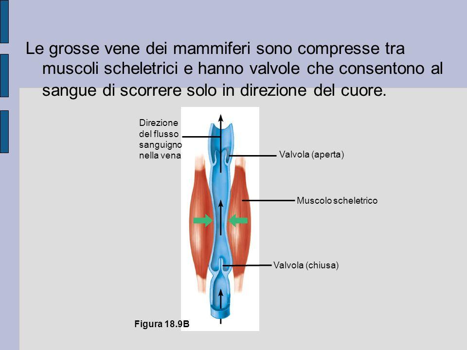 Muscolo scheletrico Direzione del flusso sanguigno nella vena Valvola (aperta) Valvola (chiusa) Figura 18.9B Le grosse vene dei mammiferi sono compresse tra muscoli scheletrici e hanno valvole che consentono al sangue di scorrere solo in direzione del cuore.
