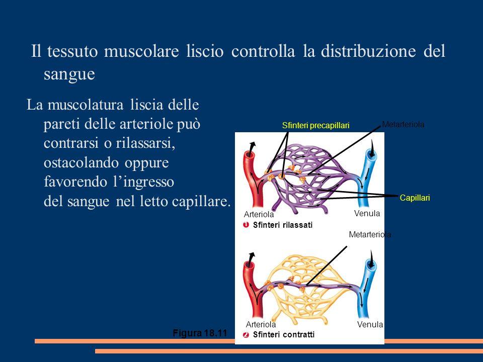 VenulaArteriola Venula Arteriola Sfinteri precapillari Metarteriola Capillari Metarteriola Il tessuto muscolare liscio controlla la distribuzione del sangue La muscolatura liscia delle pareti delle arteriole può contrarsi o rilassarsi, ostacolando oppure favorendo lingresso del sangue nel letto capillare.
