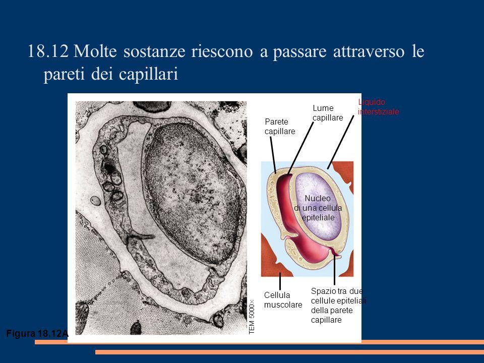 18.12 Molte sostanze riescono a passare attraverso le pareti dei capillari TEM 5000 Cellula muscolare Spazio tra due cellule epiteliali della parete capillare Nucleo di una cellula epiteliale Parete capillare Lume capillare Liquido interstiziale Figura 18.12A