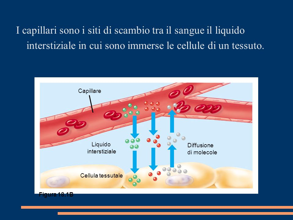 Capillare Liquido interstiziale Cellula tessutale Diffusione di molecole Figura 18.1B I capillari sono i siti di scambio tra il sangue il liquido interstiziale in cui sono immerse le cellule di un tessuto.
