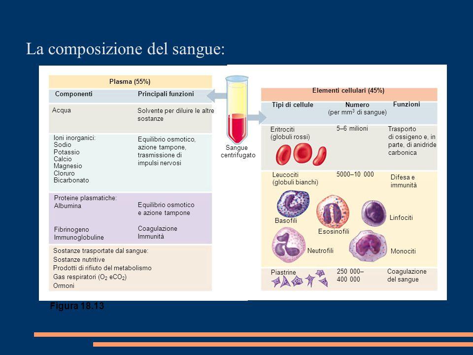 La composizione del sangue: Elementi cellulari (45%) Tipi di cellule Numero (per mm 3 di sangue) Funzioni Eritrociti (globuli rossi) 5–6 milioni Trasporto di ossigeno e, in parte, di anidride carbonica Leucociti (globuli bianchi) 5000–10 000 Difesa e immunità Basofili Esosinofili Linfociti Monociti Coagulazione del sangue 250 000– 400 000 Piastrine Neutrofili Plasma (55%) Componenti Principali funzioni Acqua Solvente per diluire le altre sostanze Ioni inorganici: Sodio Potassio Calcio Magnesio Cloruro Bicarbonato Equilibrio osmotico, azione tampone, trasmissione di impulsi nervosi Proteine plasmatiche: Albumina Fibrinogeno Immunoglobuline Equilibrio osmotico e azione tampone Coagulazione Immunità Sostanze trasportate dal sangue: Sostanze nutritive Prodotti di rifiuto del metabolismo Gas respiratori (O 2 eCO 2 ) Ormoni Sangue centrifugato Figura 18.13