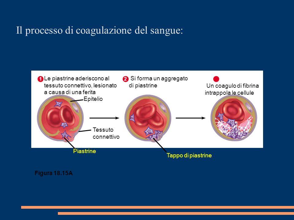 Epitelio 1 Le piastrine aderiscono al tessuto connettivo, lesionato a causa di una ferita Tessuto connettivo Piastrine Tappo di piastrine 2 Si forma un aggregato di piastrine 3 Un coagulo di fibrina intrappola le cellule Figura 18.15A Il processo di coagulazione del sangue: