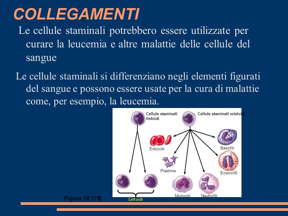 Le cellule staminali potrebbero essere utilizzate per curare la leucemia e altre malattie delle cellule del sangue Le cellule staminali si differenziano negli elementi figurati del sangue e possono essere usate per la cura di malattie come, per esempio, la leucemia.
