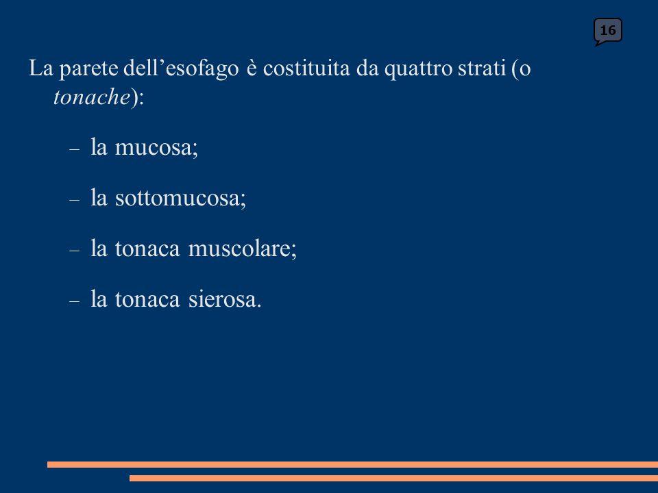 La parete dellesofago è costituita da quattro strati (o tonache): la mucosa; la sottomucosa; la tonaca muscolare; la tonaca sierosa.