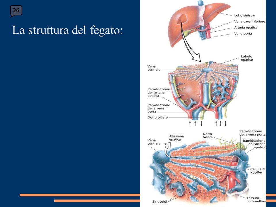 La struttura del fegato: 26