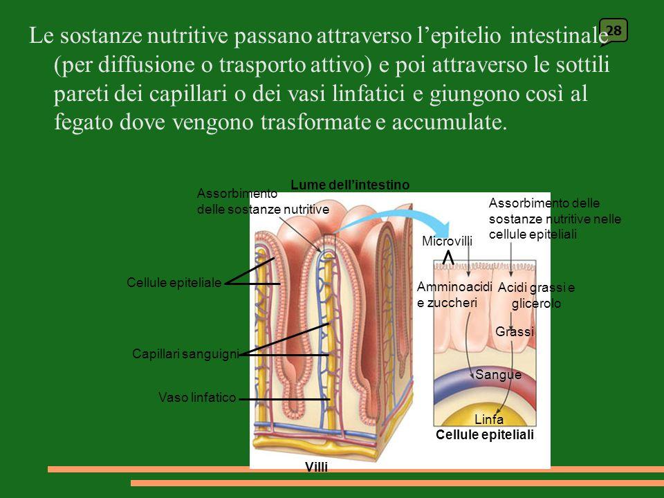 28 Lume dellintestino Assorbimento delle sostanze nutritive Cellule epiteliale Capillari sanguigni Vaso linfatico Villi Assorbimento delle sostanze nutritive nelle cellule epiteliali Microvilli Cellule epiteliali Amminoacidi e zuccheri Acidi grassi e glicerolo Sangue Grassi Linfa Le sostanze nutritive passano attraverso lepitelio intestinale (per diffusione o trasporto attivo) e poi attraverso le sottili pareti dei capillari o dei vasi linfatici e giungono così al fegato dove vengono trasformate e accumulate.