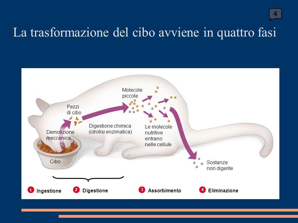 La trasformazione del cibo avviene in quattro fasi 4 Le molecole nutritive entrano nelle cellule Sostanze non digerite Digestione chimica (idrolisi enzimatica) Molecole piccole Pezzi di cibo Demolizione meccanica Cibo 1 Ingestione 2 Digestione 3 Assorbimento 4 Eliminazione