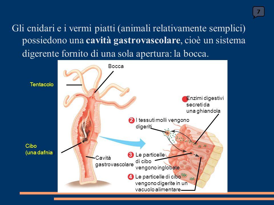 La regolazione dellattività gastrica Lattività delle ghiandole gastriche è regolata da un insieme di segnali nervosi e ormonali.