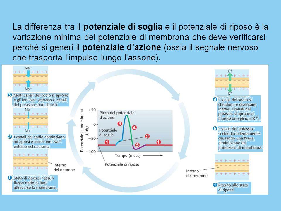La differenza tra il potenziale di soglia e il potenziale di riposo è la variazione minima del potenziale di membrana che deve verificarsi perché si g