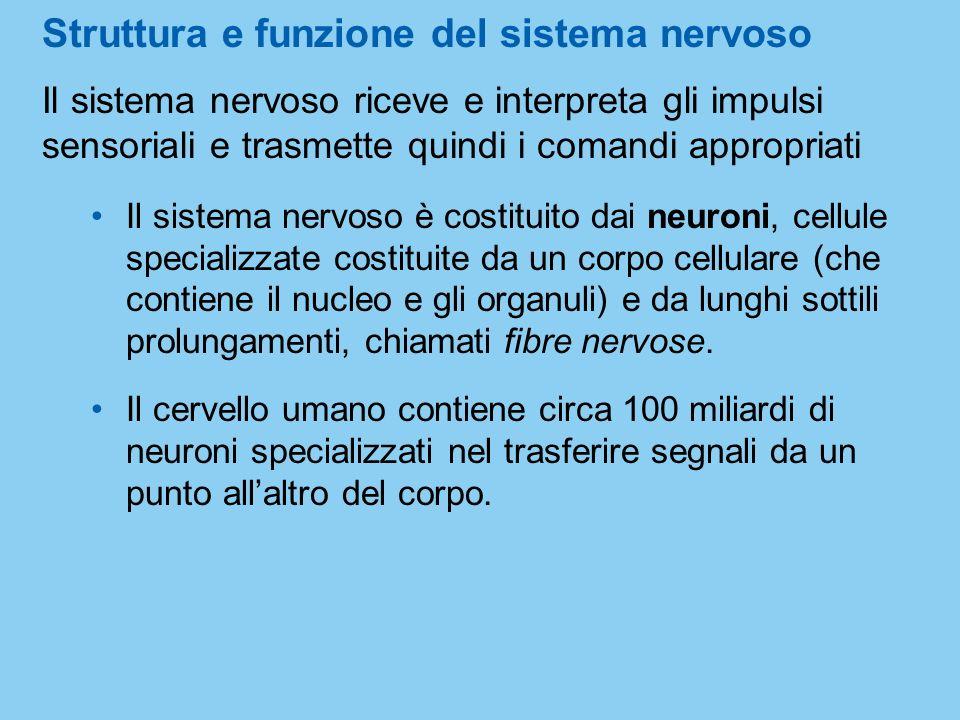 Struttura e funzione del sistema nervoso Il sistema nervoso riceve e interpreta gli impulsi sensoriali e trasmette quindi i comandi appropriati Il sis