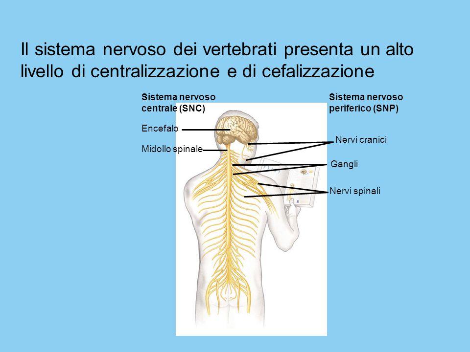Il sistema nervoso dei vertebrati presenta un alto livello di centralizzazione e di cefalizzazione Sistema nervoso centrale (SNC) Encefalo Midollo spi