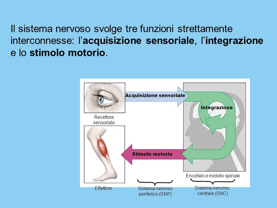 Acquisizione sensoriale Recettore sensoriale Effettore Stimolo motorio Integrazione Sistema nervoso periferico (SNP) Encefalo e midollo spinale Sistem