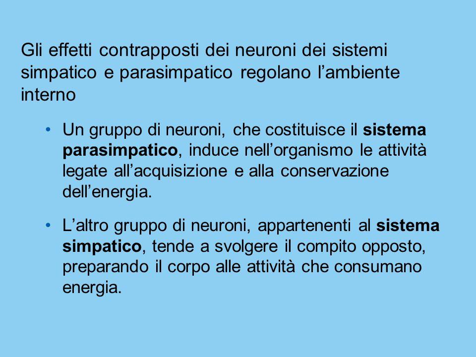 Gli effetti contrapposti dei neuroni dei sistemi simpatico e parasimpatico regolano lambiente interno Un gruppo di neuroni, che costituisce il sistema