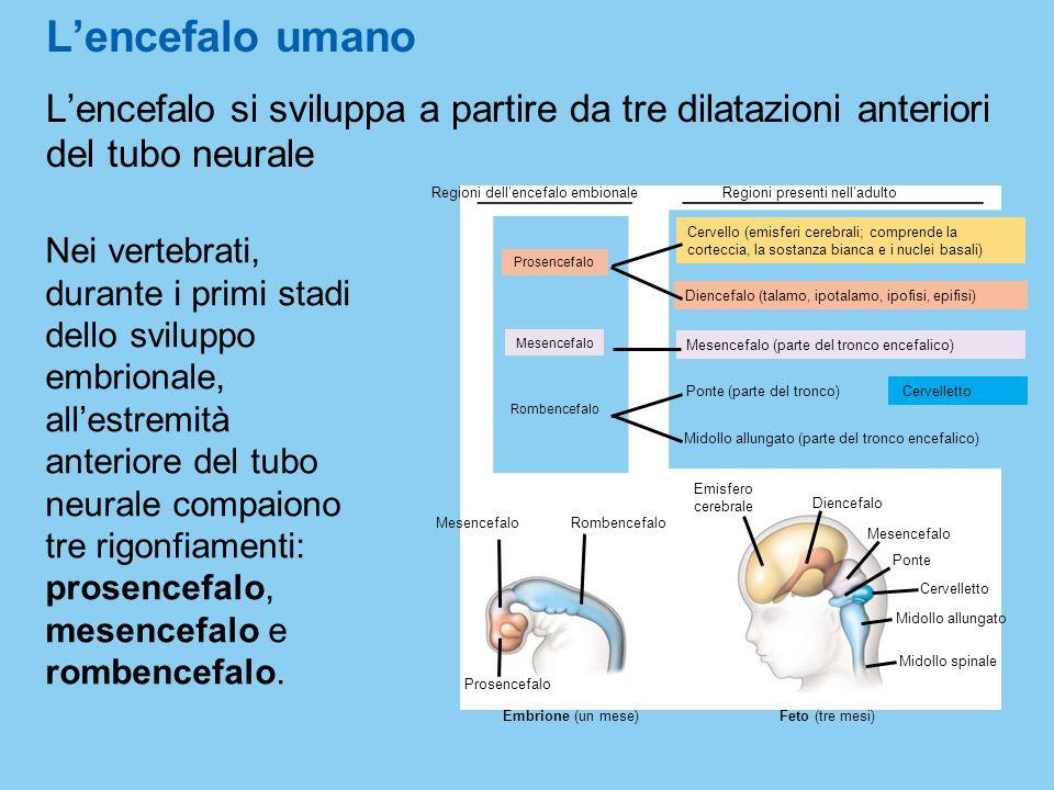 Lencefalo si sviluppa a partire da tre dilatazioni anteriori del tubo neurale Lencefalo umano Nei vertebrati, durante i primi stadi dello sviluppo emb