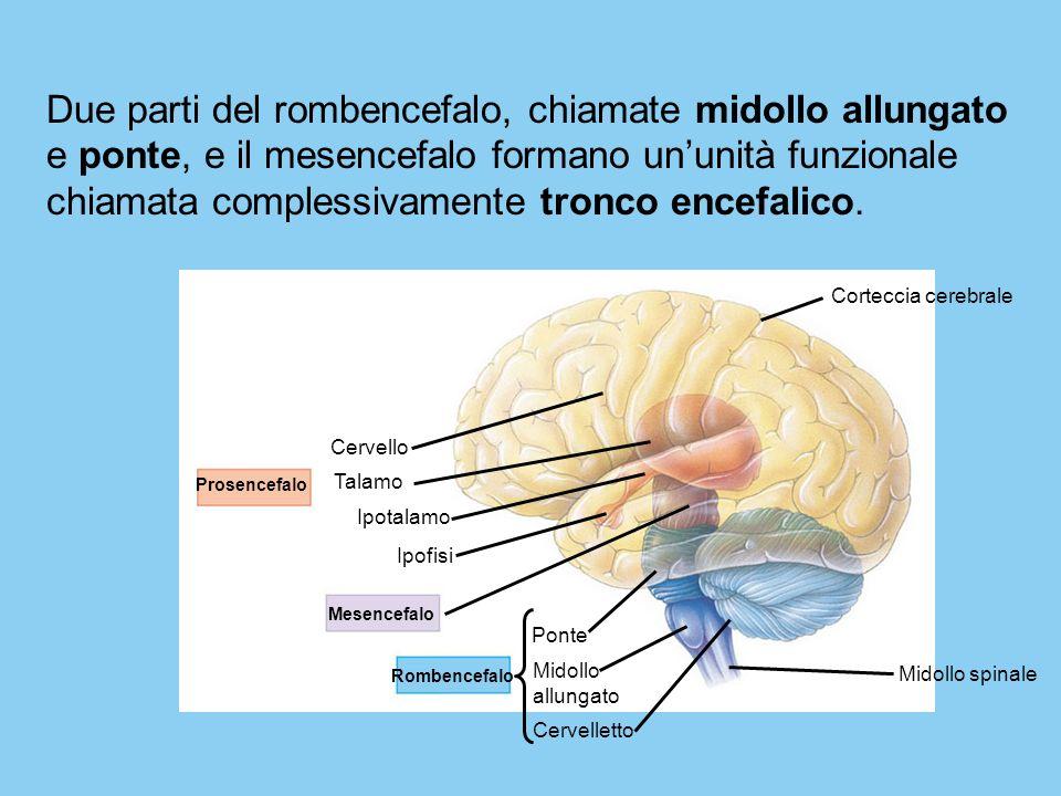 Prosencefalo Mesencefalo Rombencefalo Cervello Talamo Ipotalamo Ipofisi Ponte Midollo allungato Cervelletto Midollo spinale Corteccia cerebrale Due pa