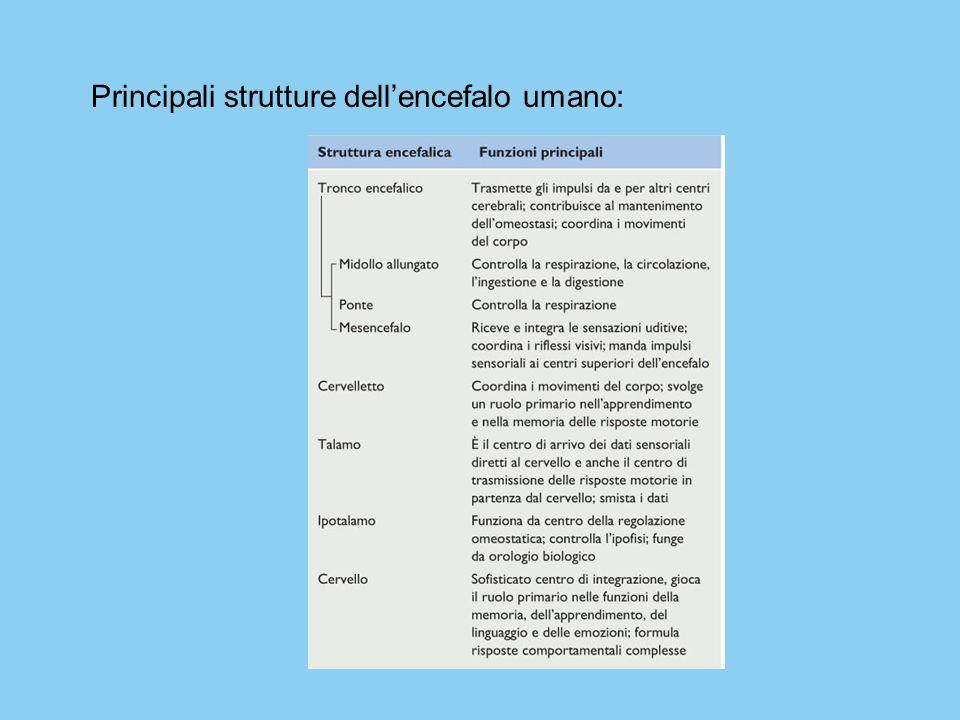 Principali strutture dellencefalo umano: