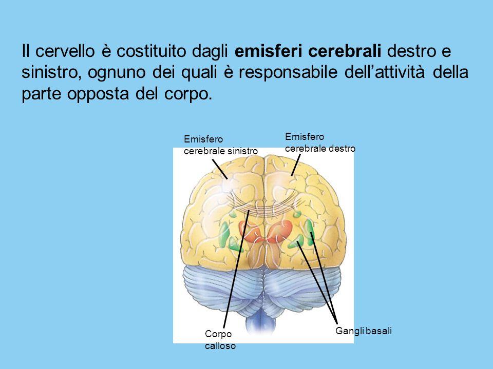Emisfero cerebrale sinistro Emisfero cerebrale destro Corpo calloso Gangli basali Il cervello è costituito dagli emisferi cerebrali destro e sinistro,