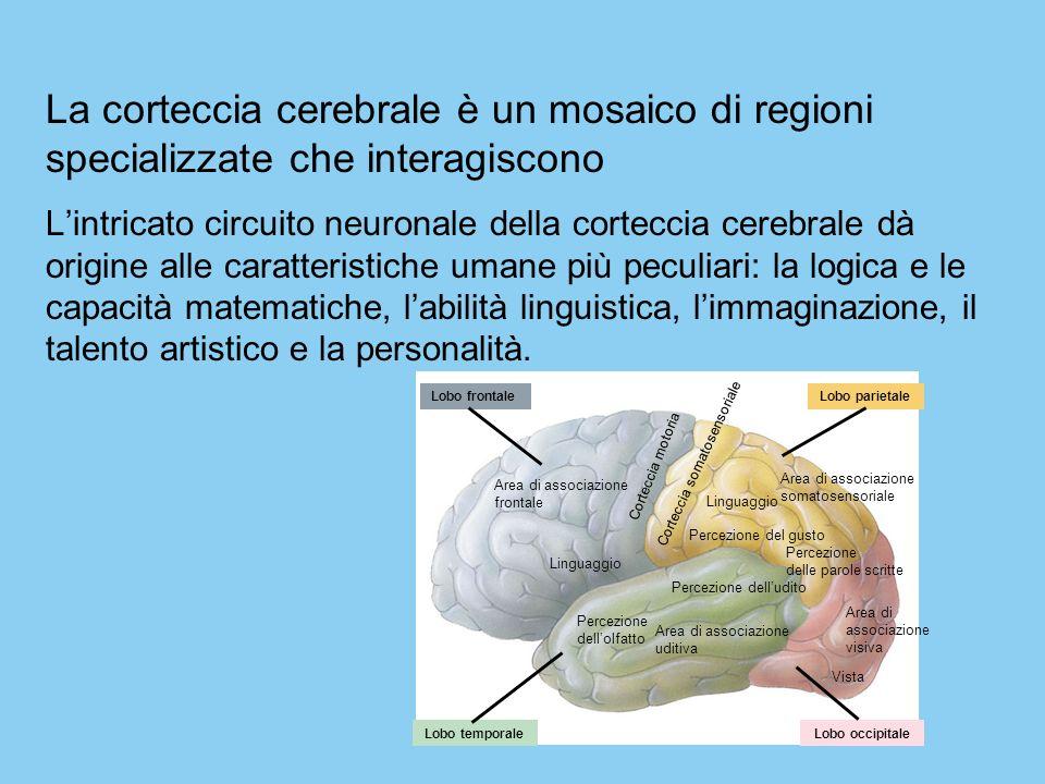 La corteccia cerebrale è un mosaico di regioni specializzate che interagiscono Lintricato circuito neuronale della corteccia cerebrale dà origine alle