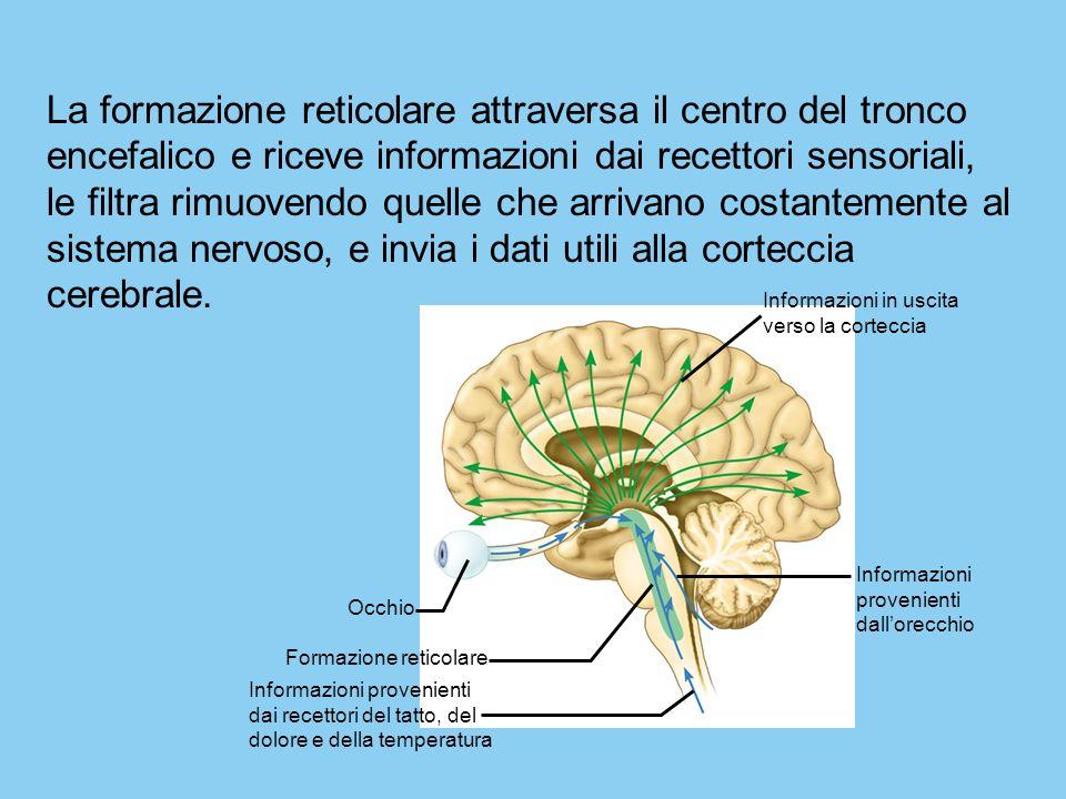 Informazioni provenienti dallorecchio Occhio Formazione reticolare Informazioni provenienti dai recettori del tatto, del dolore e della temperatura In