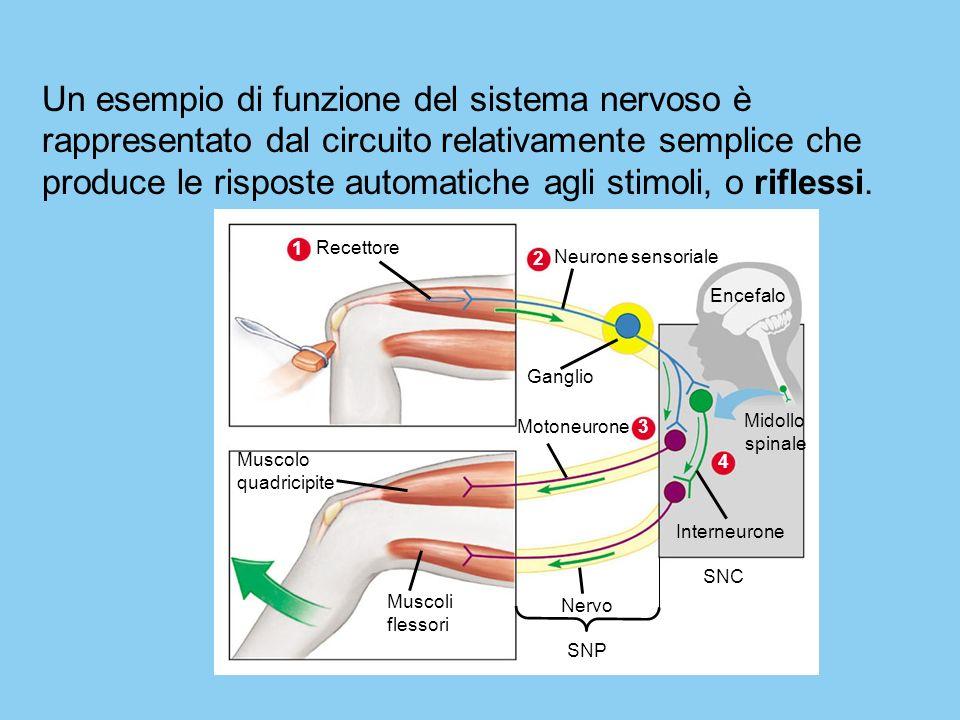 Muscolo quadricipite Muscoli flessori Encefalo Midollo spinale Nervo SNP Ganglio SNC Interneurone 4 2 Neurone sensoriale 3 Motoneurone 1 Recettore Un