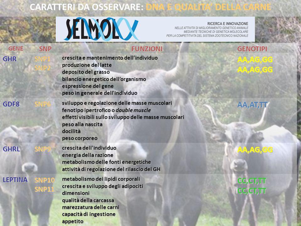 CC,CT,TTCC,CT,TT metabolismo dei lipidi corporali crescita e sviluppo degli adipociti dimensioni qualità della carcassa marezzatura delle carni capaci