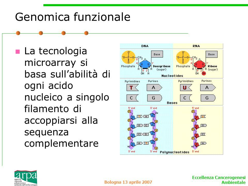 Eccellenza Cancerogenesi Ambientale Bologna 13 aprile 2007 Genomica funzionale La tecnologia microarray si basa sullabilità di ogni acido nucleico a s