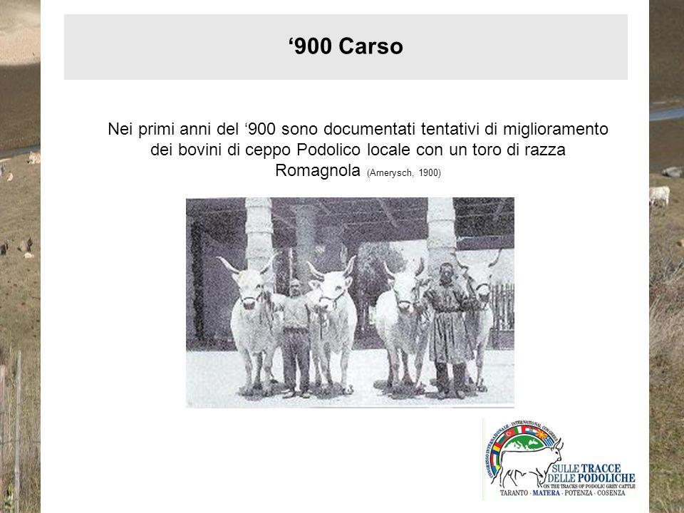 Nei primi anni del 900 sono documentati tentativi di miglioramento dei bovini di ceppo Podolico locale con un toro di razza Romagnola (Arnerysch, 1900
