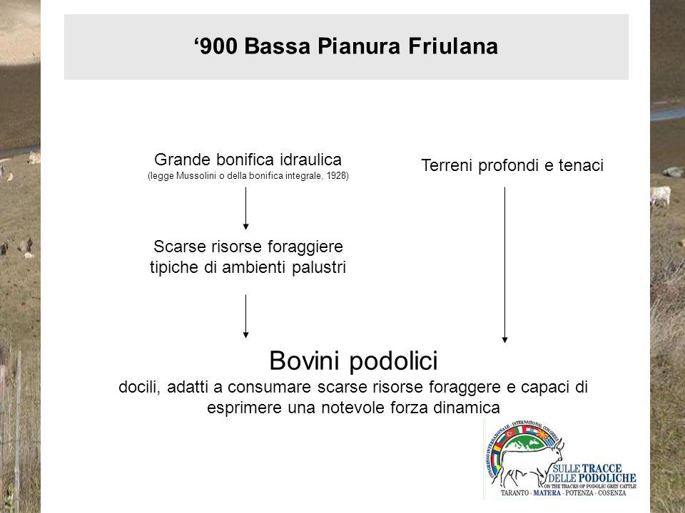 Non risulta la presenza di Bovini di ceppo Podolico presso i centri di monta allora attivi in Regione, è da escludersi una qualsiasi opera di miglioramento o selezione genetica locale 900 Bassa Pianura Friulana