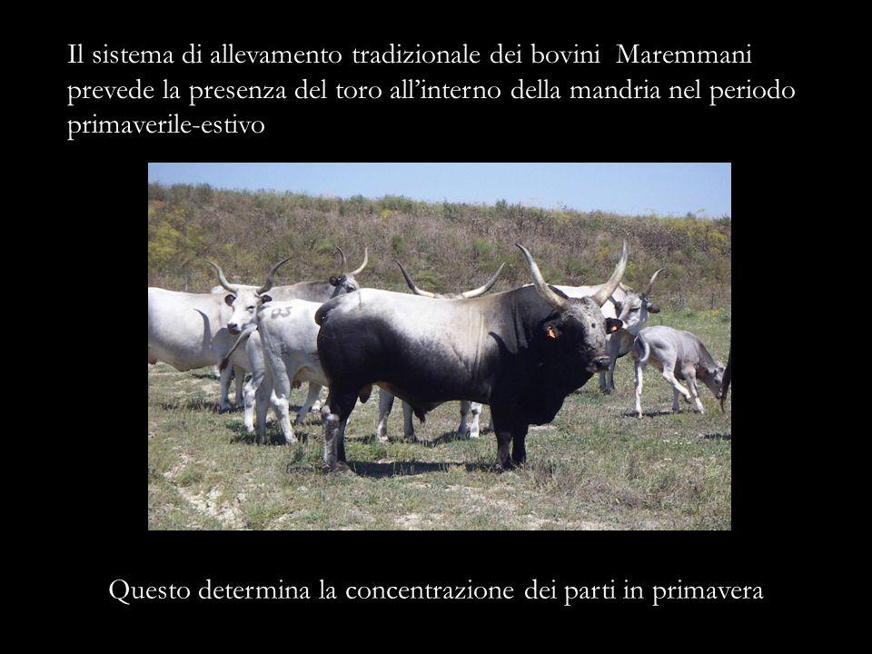Il sistema di allevamento tradizionale dei bovini Maremmani prevede la presenza del toro allinterno della mandria nel periodo primaverile-estivo Quest