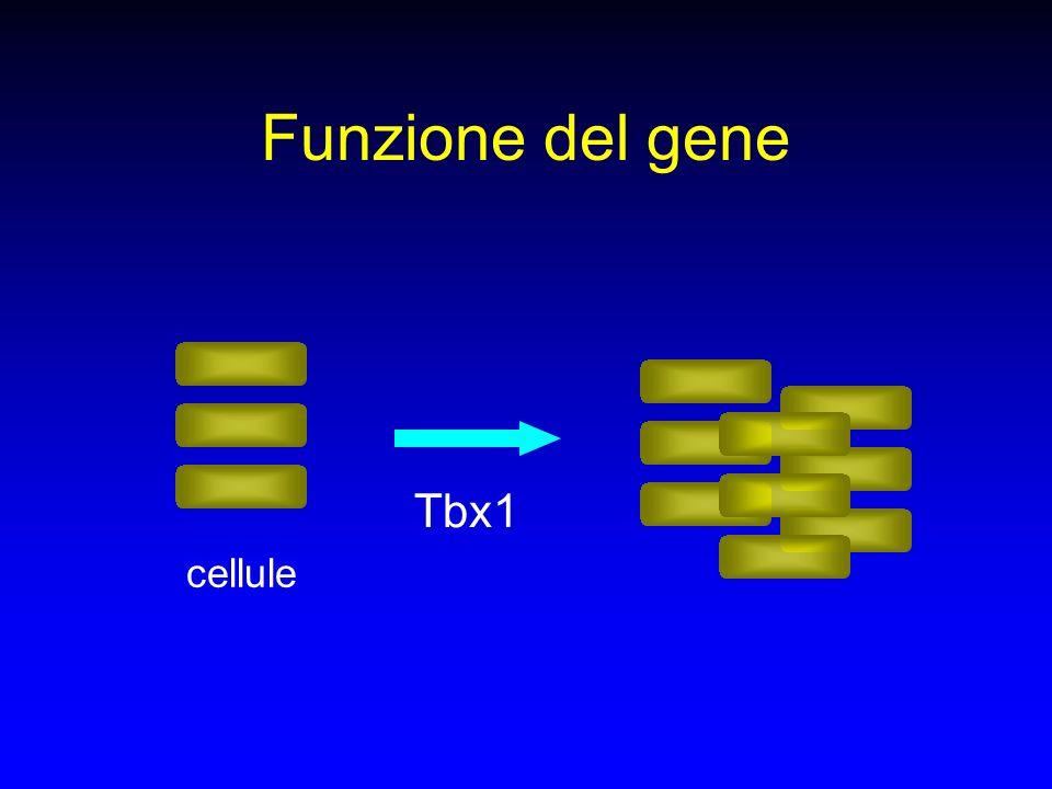 Funzione del gene Tbx1 cellule