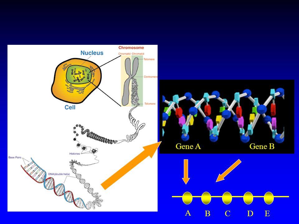 Gene AGene B A BDEC