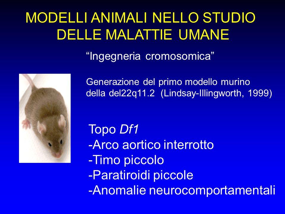 MODELLI ANIMALI NELLO STUDIO DELLE MALATTIE UMANE Ingegneria cromosomica Generazione del primo modello murino della del22q11.2 (Lindsay-Illingworth, 1