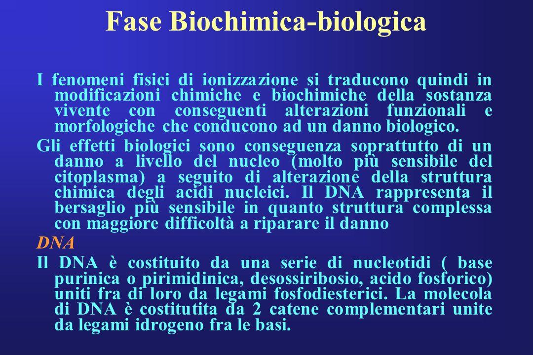 Fase Biochimica-biologica I fenomeni fisici di ionizzazione si traducono quindi in modificazioni chimiche e biochimiche della sostanza vivente con con