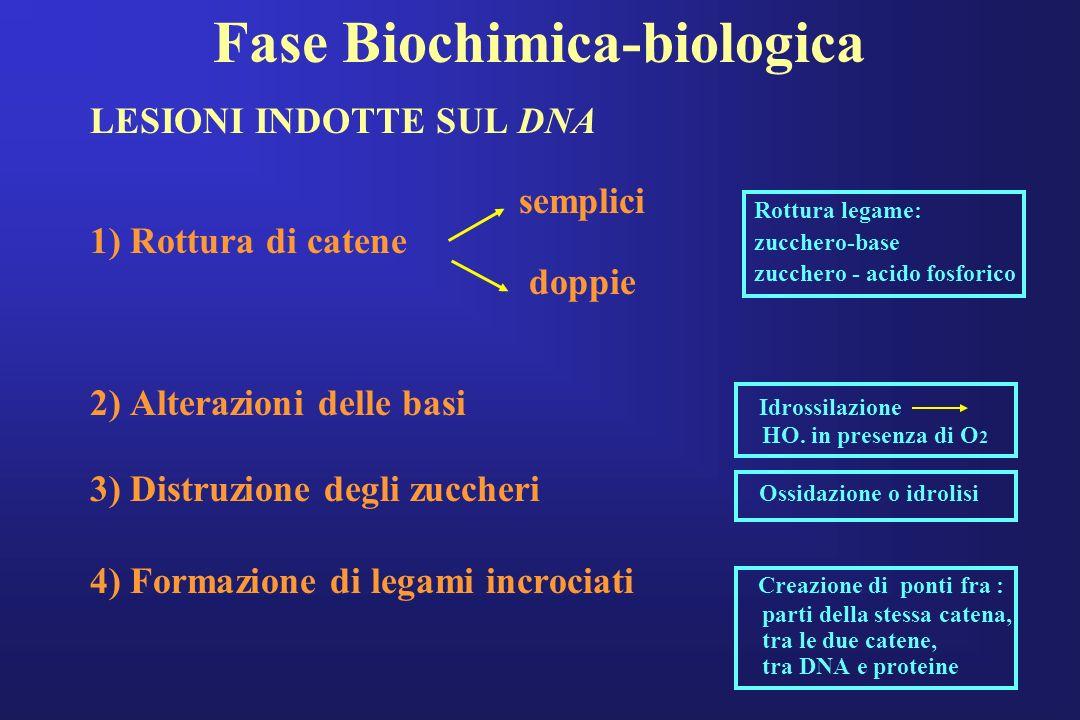 Fase Biochimica-biologica LESIONI INDOTTE SUL DNA semplici 1) Rottura di catene doppie 2) Alterazioni delle basi Idrossilazione HO. in presenza di O 2