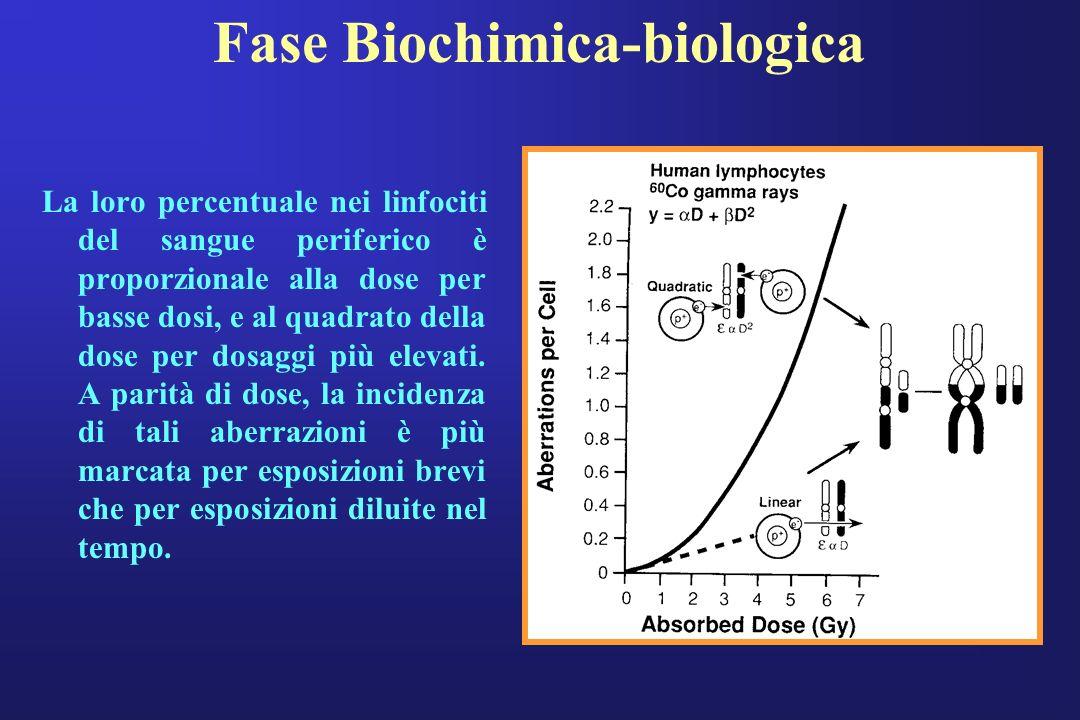 Fase Biochimica-biologica La loro percentuale nei linfociti del sangue periferico è proporzionale alla dose per basse dosi, e al quadrato della dose p