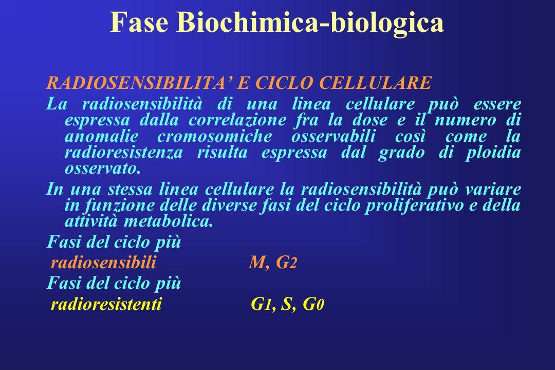 Fase Biochimica-biologica RADIOSENSIBILITA E CICLO CELLULARE La radiosensibilità di una linea cellulare può essere espressa dalla correlazione fra la