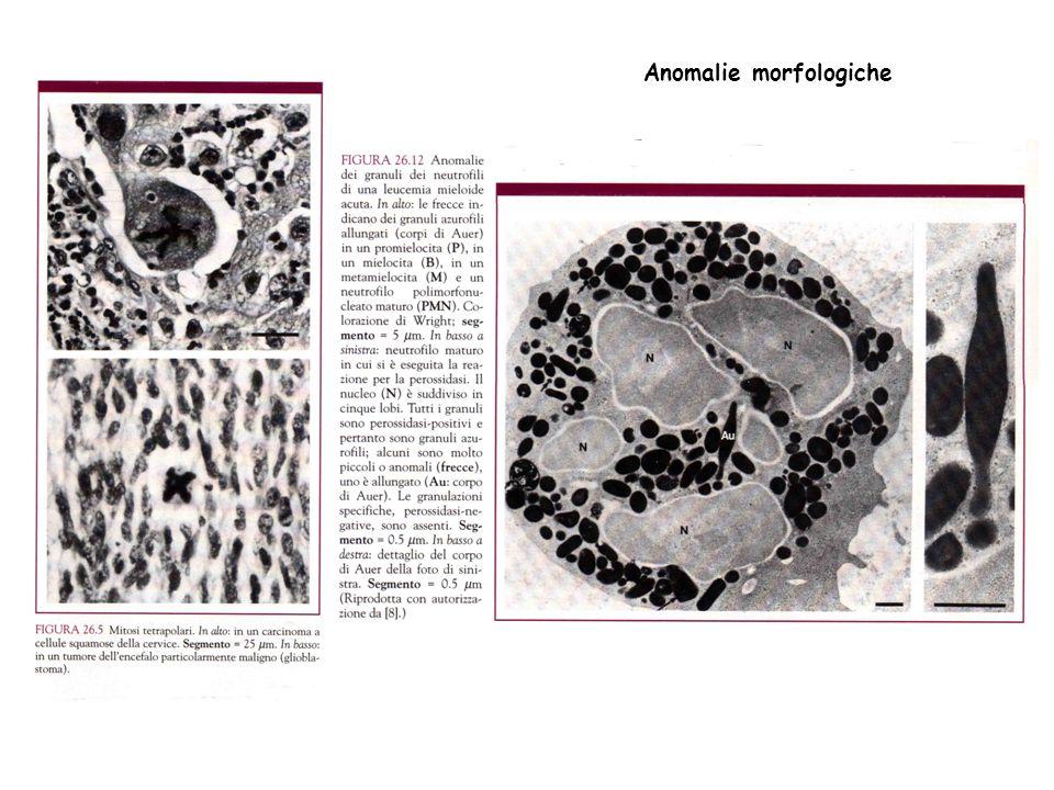 3) Comportamento dopo il trapianto Impiegando animali opportuni che non rigettino il trapianto, le cellule trasformate se iniettate sotto cute danno luogo a tumori; quelle normali o muoino o sopravvivono senza crescere.