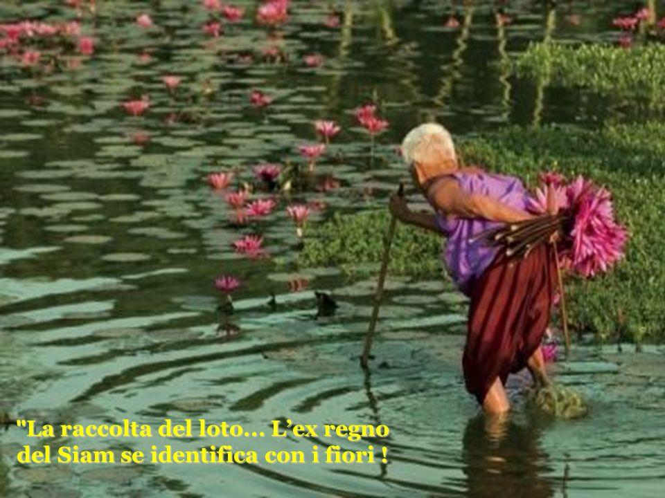 La raccolta del loto... Lex regno del Siam se identifica con i fiori !