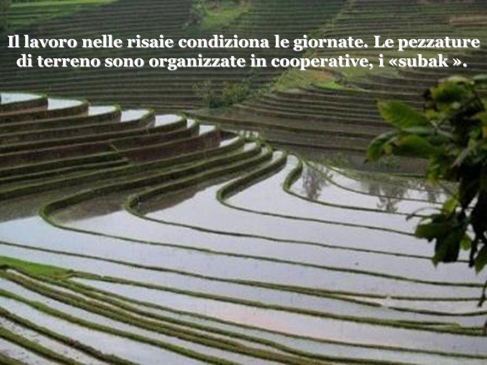 La vita dei contadini ruota intorno al ciclo del riso : aratura dei campi, piantagione, irrigazione, controllo, mietitura, seccatura, battitura.