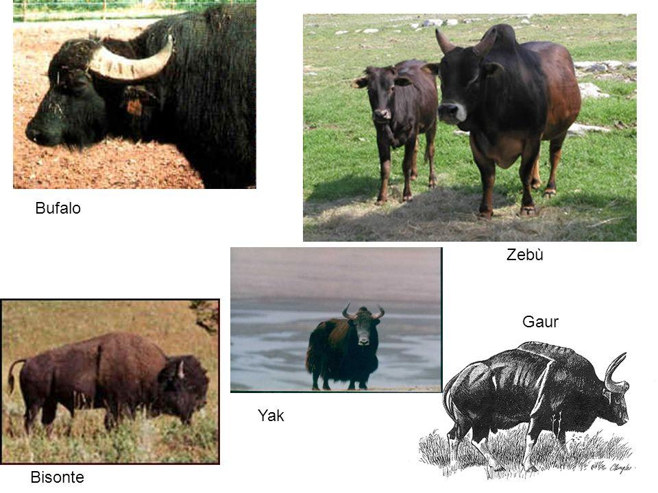 Bufalo Zebù Bisonte Gaur Yak